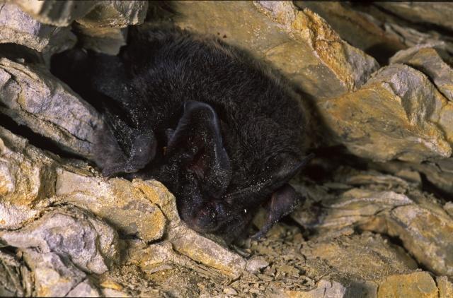 Mopsfledermaus, Quelle: Wikipedia